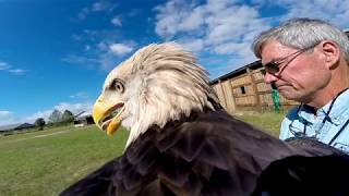 An American Bald Eagle flies with a GoPro