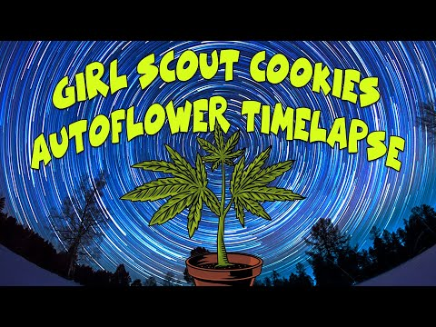Girl Scout Cookies – Timelapse Autoflower – Seed to Harvest