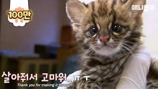 Baby wildcat under zookeeper care