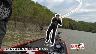 Flipping Shallow Bushes for GIANT TENNESSEE BASS Dale Hollow Lake