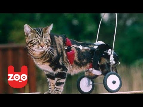 Cat in a Wheelchair Gets New Set of Wheels