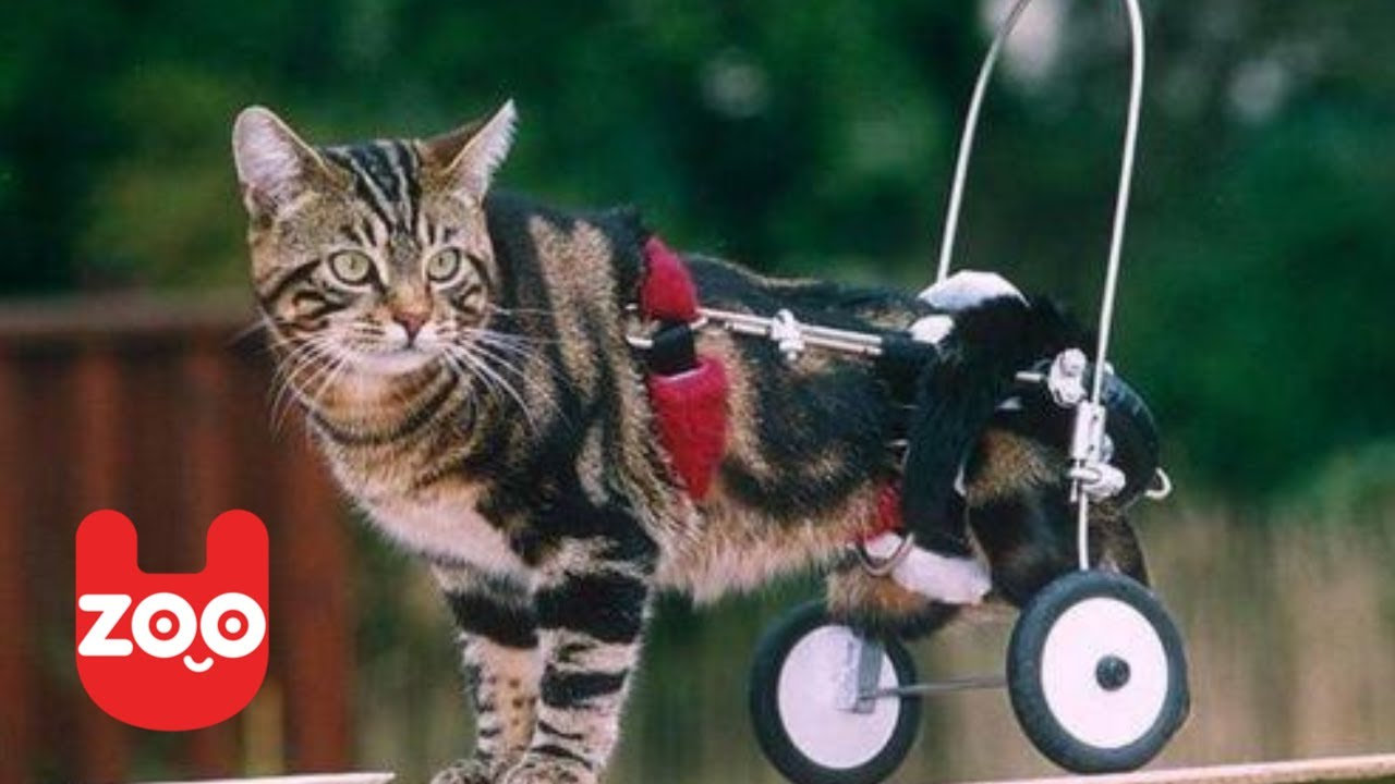 wheelchair for cats hanging chair bedroom ireland cat in a gets new set of wheels youtube