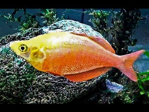 New Guinea Red Irian Rainbow Fish (Up-Close)