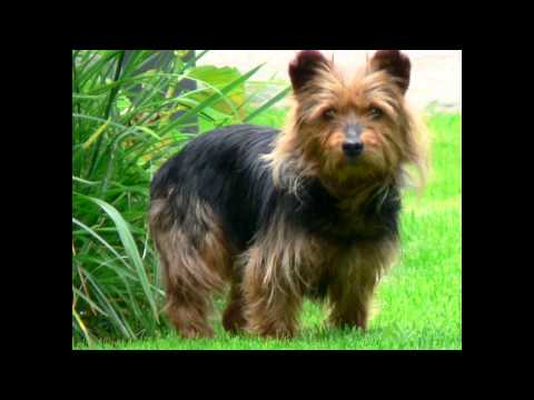 Australian Terrier (dog breed HD slide show)! / Категория: Породы   собак   Австралии  !