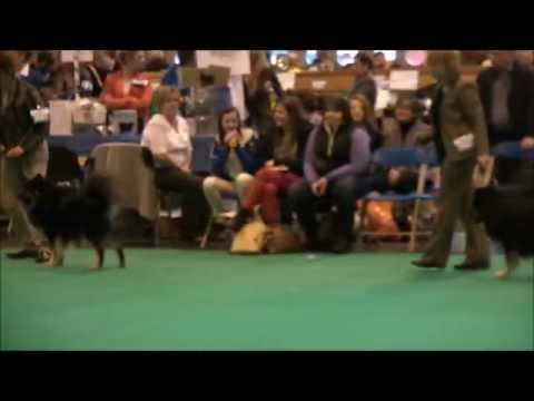 Finnish Lapphund Junior Dog CRUFTS 2013