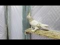 Tauben / Pigeons / Голуби (Артём Амбарцумян . Тбилиси, Грузия )