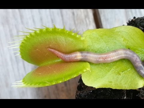 Thumbnail: WORM CRUSHED BY VENUS FLYTRAP