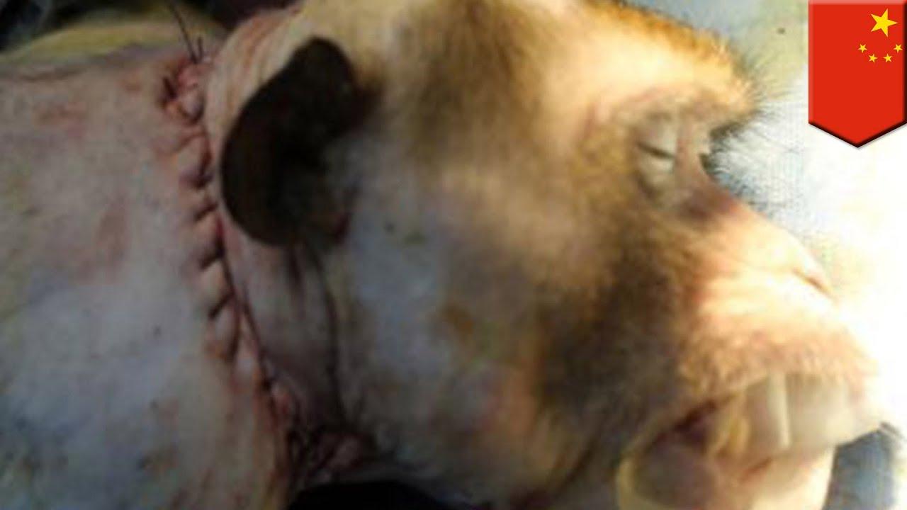 サルの頭部移植手術が成功 「次...