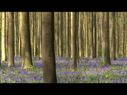 Thousands of bluebells blanket Belgium's fairytale forest