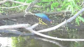 Purple Gallinule in the St. Johns marsh