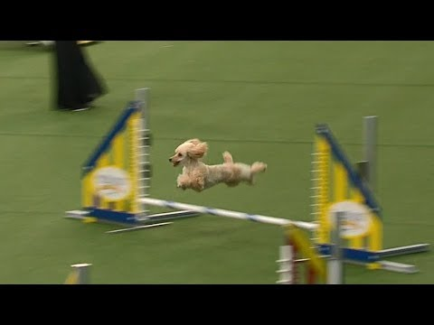 Carly Rae The Poodle Attempts Championship Run At Westminster Dog Show