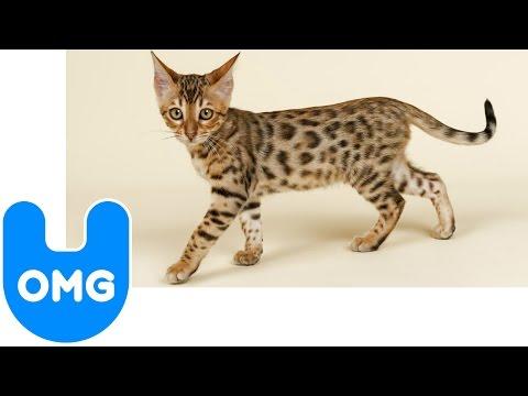 $22,000 Ashera Cat