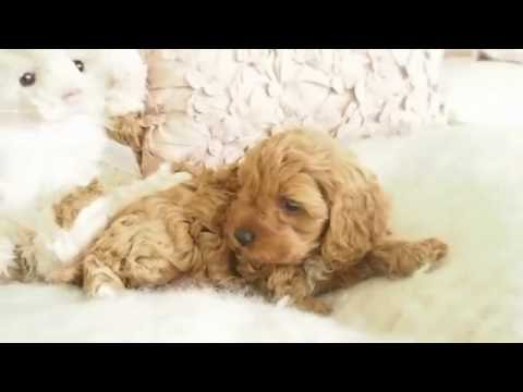 Lolly's Toy Cavoodle Girl 7331- Pocket Puppies