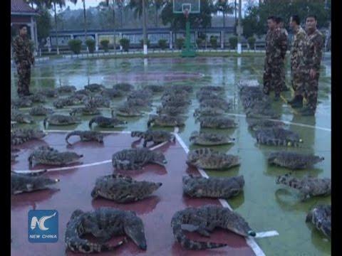 70 frozen Siamese crocodiles seized in S China