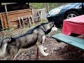 Malamute Attacks To Protect Us While Camping...........lmbo