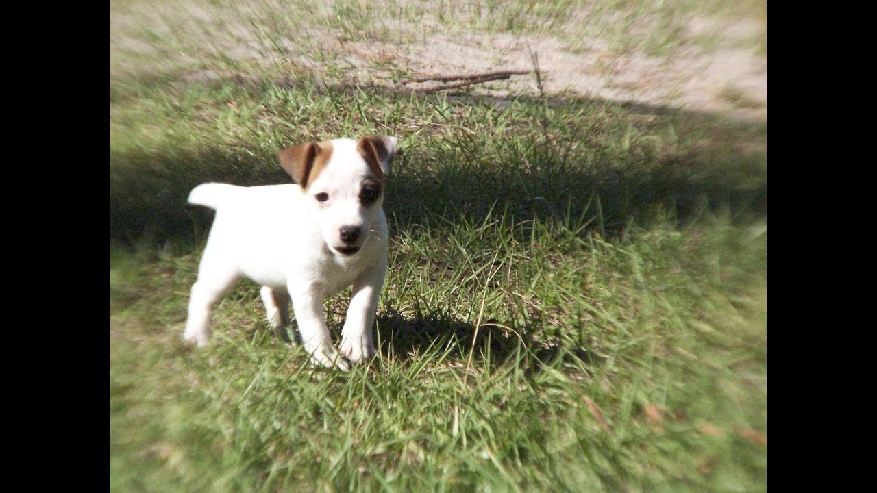 Jack russell puppies dogs for sale in columbia south carolina sc mount pleasant sumter - Jack russel queue coupee ...