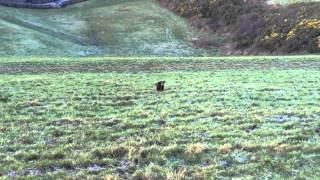 Gundog Training - Cocker Spaniel
