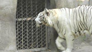 ホワイトタイガー,白虎,上海動物園,White tiger,Shang Hai Zoo,China,中華人民共和国,上海动物园