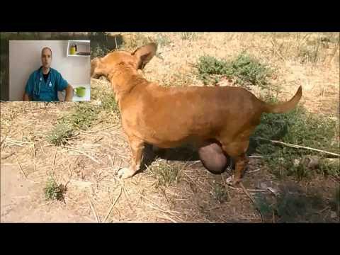 Опухоли молочных желез у собак и кошек