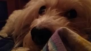 АСМР с Собакой. ASMR. Собака спит с Вами онлайн, рядом немножко храпа.