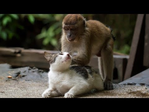 Funniest Monkey Annoying Cat Videos Compilation NEW HD 2018