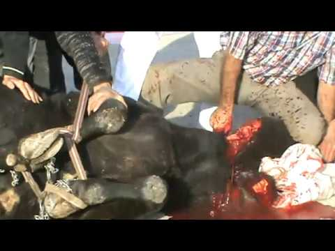 Kurban Kesilirken KKB  2  Bulls slaughtered. fotagraf attracts women in green. slaughtering