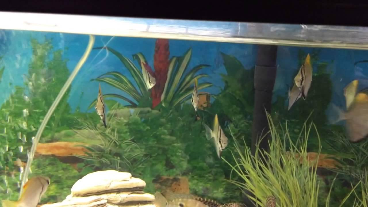mono argentus fish in stock again youtube