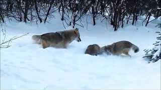 American Badger vs. Coyotes