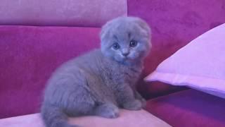 Шотландские вислоухие котята проколы с котами 2019 - смешные коты и кошки