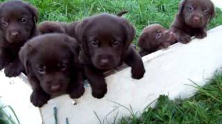 Video Chocolate Labrador Puppies for sale buckinghan download MP3, 3GP, MP4, WEBM, AVI, FLV Agustus 2018