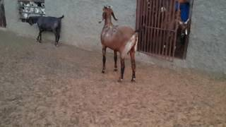 Altaf goat farm 2016
