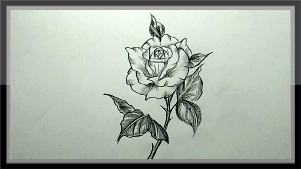Pencil drawing a beautiful rose flower easy