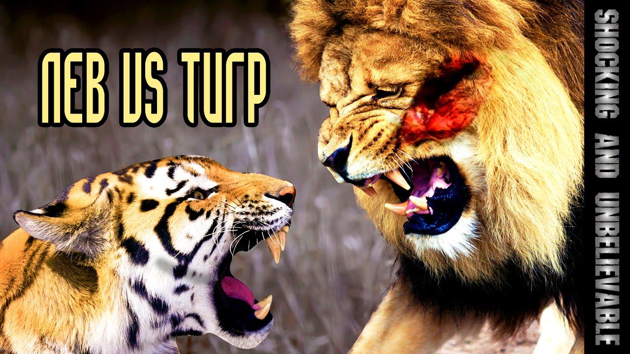 фото лев и тигр