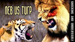 ЛЕВ VS ТИГР(В природе схватки тигра и льва наблюдались достаточно редко. Как свидетельствуют цирковые дрессировщики..., 2014-12-15T20:08:07.000Z)
