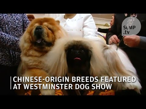The Year of Dog: Chinese-origin breeds featured at Westminster dog show