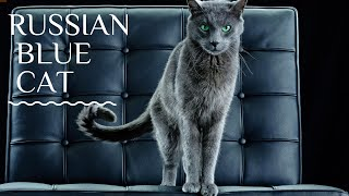 Funny pets  cute cats 6  Russian Blue cat