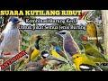 Suara Kutilang Ribut Untuk Pikat Semua Jenis Burung  Mp3 - Mp4 Download