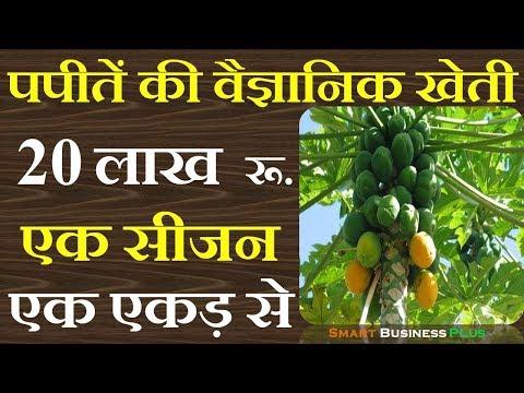 पपीतें की वैज्ञानिक खेती से कमाओ 20 लाख रू एक एकड़ से   papaya farming   Smart Business Plus
