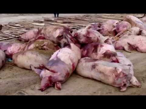 Afrykański pomór świń (ASF) - zasady ochrony świń przed chorobą