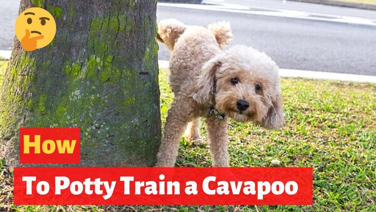 How to potty train a Cavapoo puppy? Cavapoo Training Technique