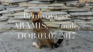 Бенгальские котята. Питомник Бенвояж.