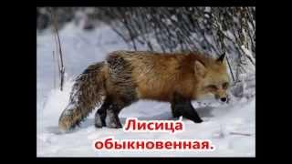 Животный мир России. Презентация 4 класс.