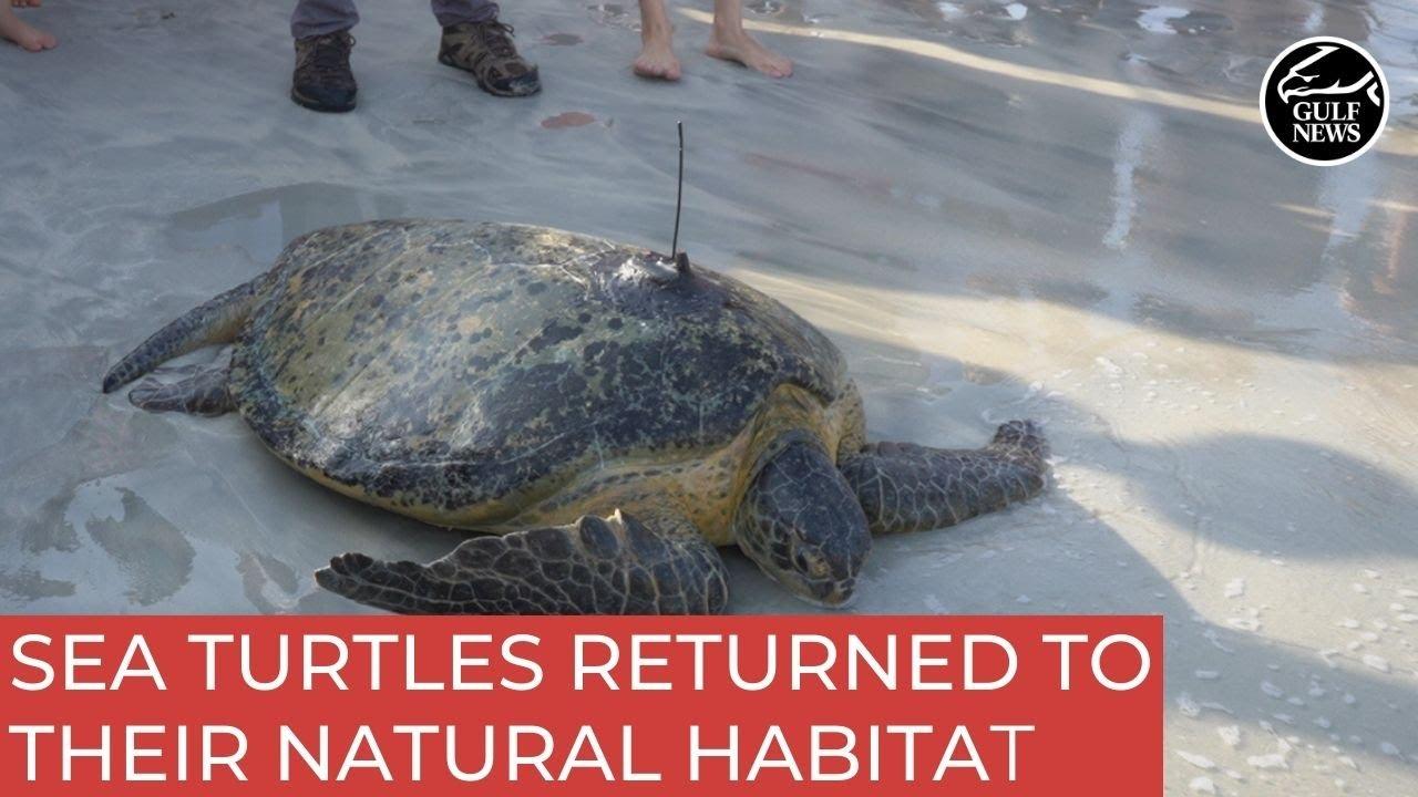 Dubai Turtle Rehabilitation Project has released endangered sea turtles to their natural habitat