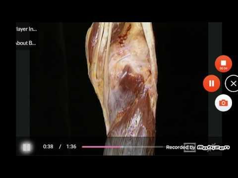 gastrocnemius/plantaris/popliteus-muscles