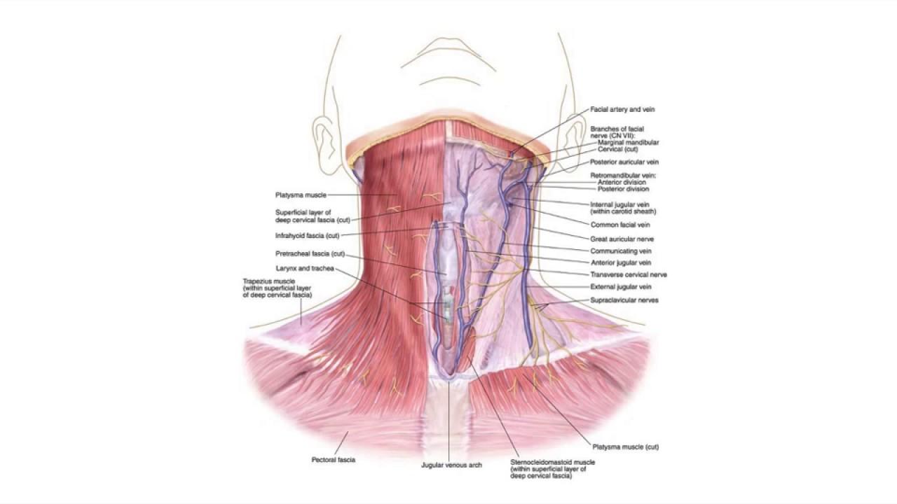 Increíble Anatomía Del Cuello De Garganta Ilustración - Imágenes de ...