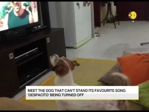Watch how a dog reacts if his favourite song 'Despacito,' being turned off