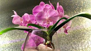 КОРНИ ОРХИДЕИ в ОТСТОЙНИК на наращивание, зачем мечу лист орхидеи
