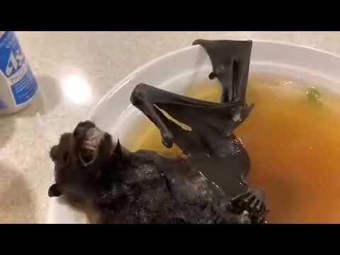 Gekochte Fledermaus