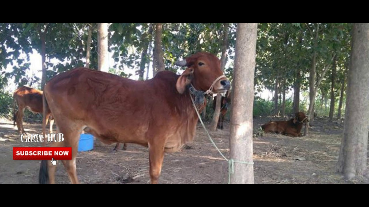 Cow for Sale|Gir cow for sale in Tamil Nadu Pondichery price 55000 wattsapp  no 9994312689