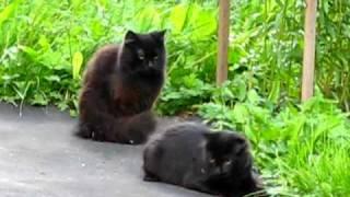 Чёрные коты.avi